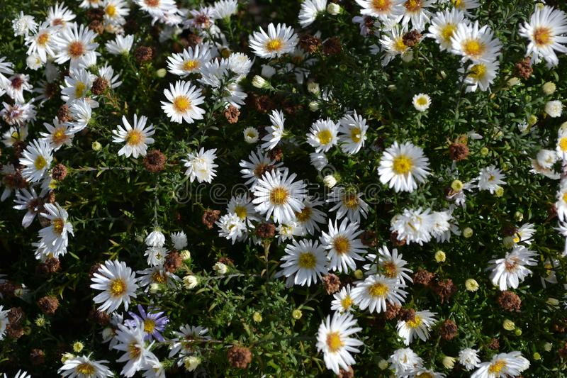 Aster perennial white. royalty free stock photography