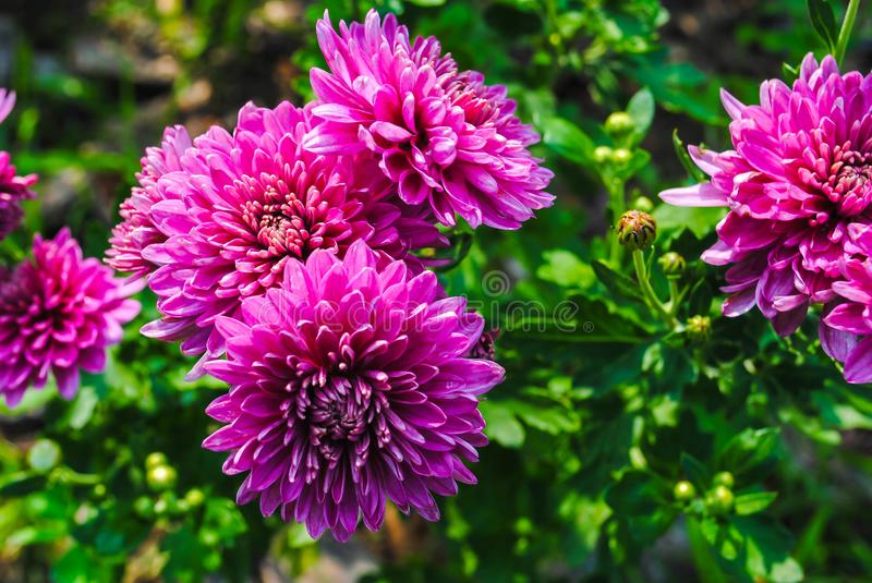 Aster, purpere aster stock foto