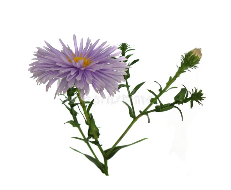 Aster purple flower isolated on white background. royalty free stock images