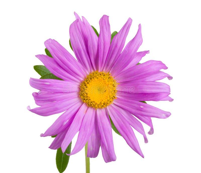 aster purpurowy obraz royalty free