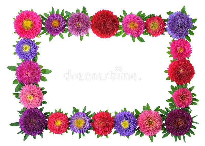 aster rama kolorowa kwiecista zdjęcie stock