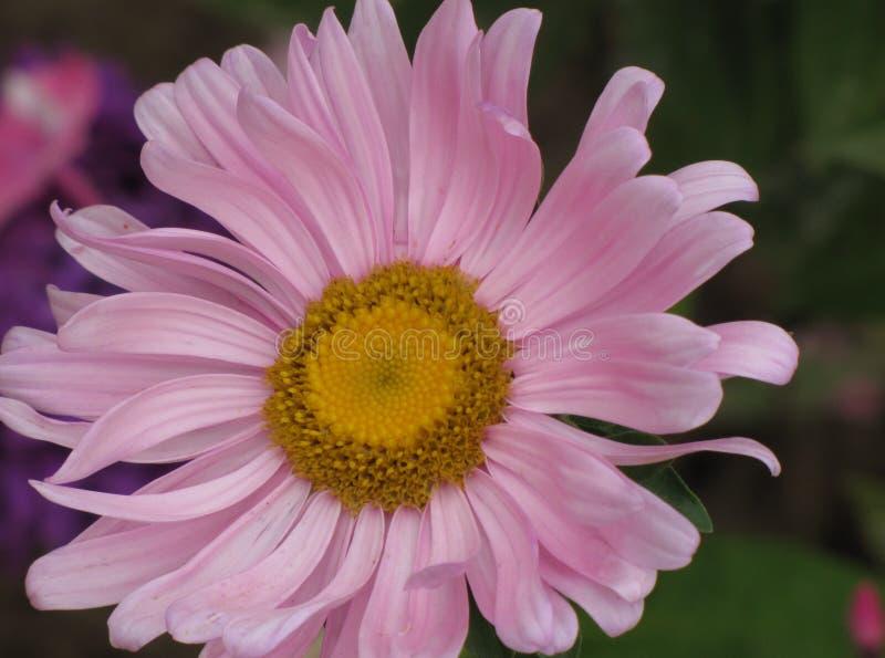 Aster rosado imágenes de archivo libres de regalías