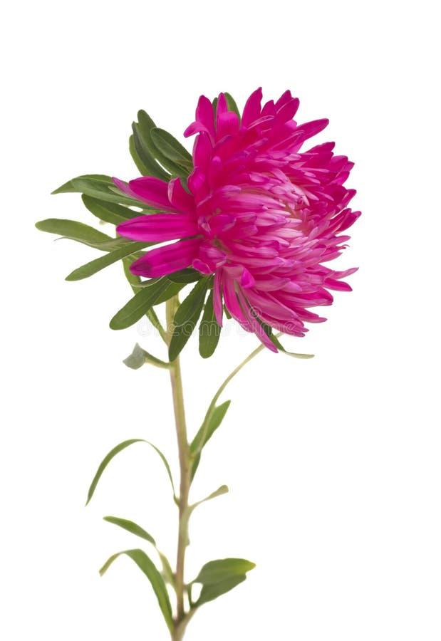 Aster rosado aislado en el fondo blanco fotos de archivo libres de regalías