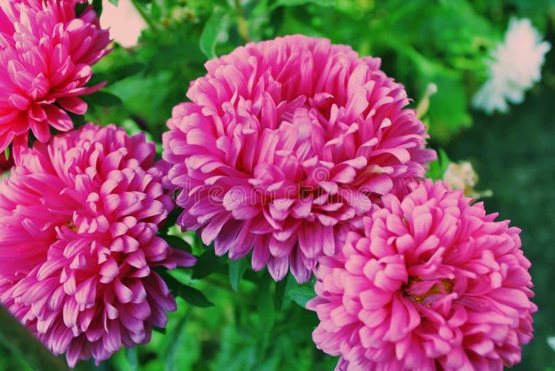 Aster rose sur un lit de fleur photographie stock