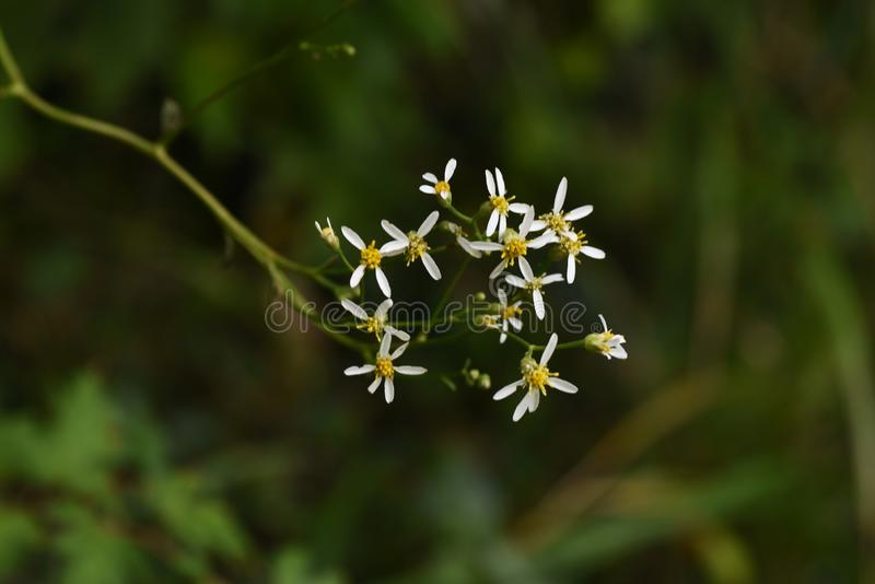 Aster scaber flowers. Aster scaber makes white ray floret bloom in autumn, and the young sprout is edible royalty free stock photography