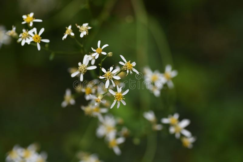 Aster scaber flowers. Aster scaber makes white ray floret bloom in autumn, and the young sprout is edible stock image
