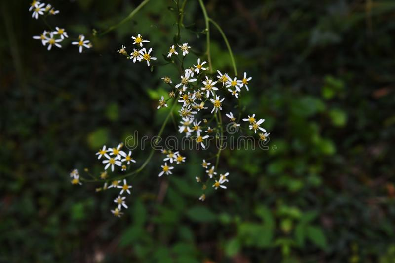 Aster scaber flowers. Aster scaber makes white ray floret bloom in autumn, and the young sprout is edible stock photos
