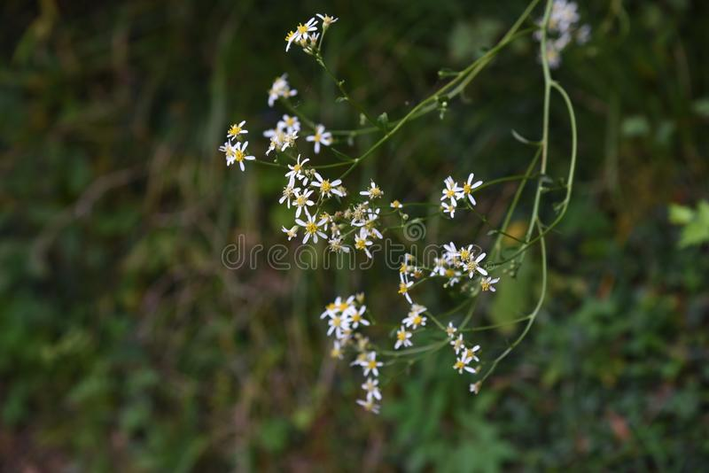 Aster scaber flowers. Aster scaber makes white ray floret bloom in autumn, and the young sprout is edible royalty free stock photo