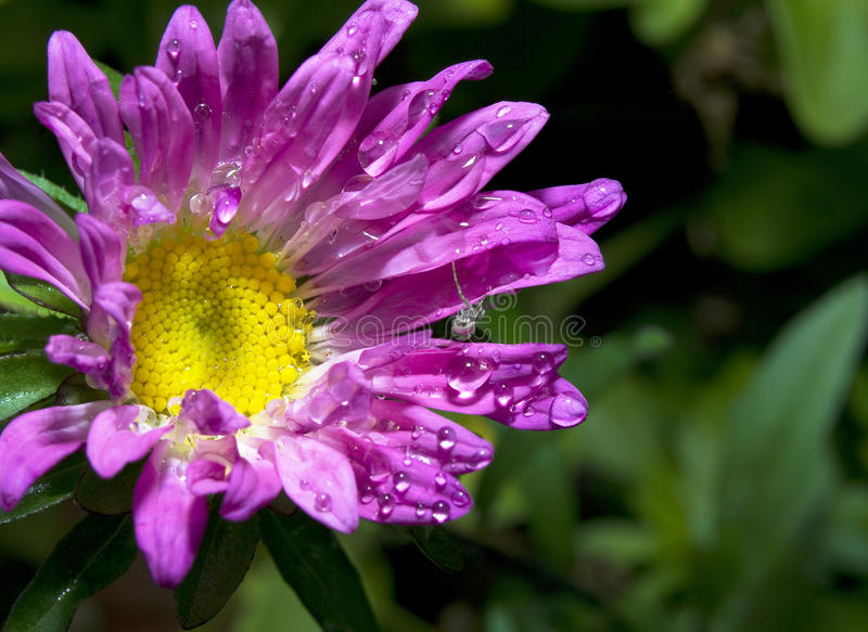 Aster with spider arachnid royalty free stock photography