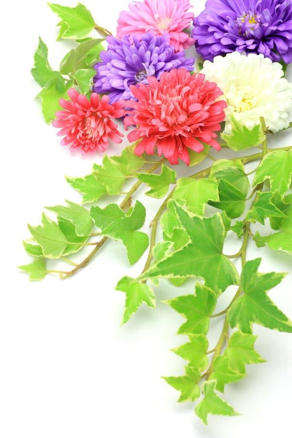 Download Aster und Efeu stockbild. Bild von houseplant, weiß, purpurrot - 26361877