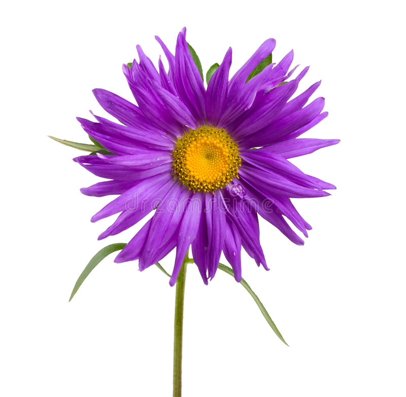 aster violet obraz royalty free