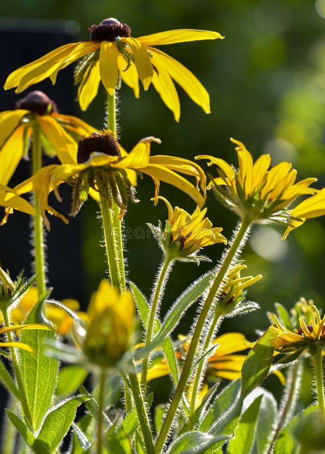 Asteraceae lizenzfreie stockfotografie