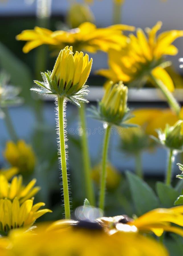 Asteraceae lizenzfreie stockfotos