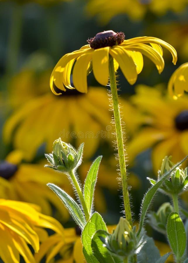Asteraceae lizenzfreie stockbilder