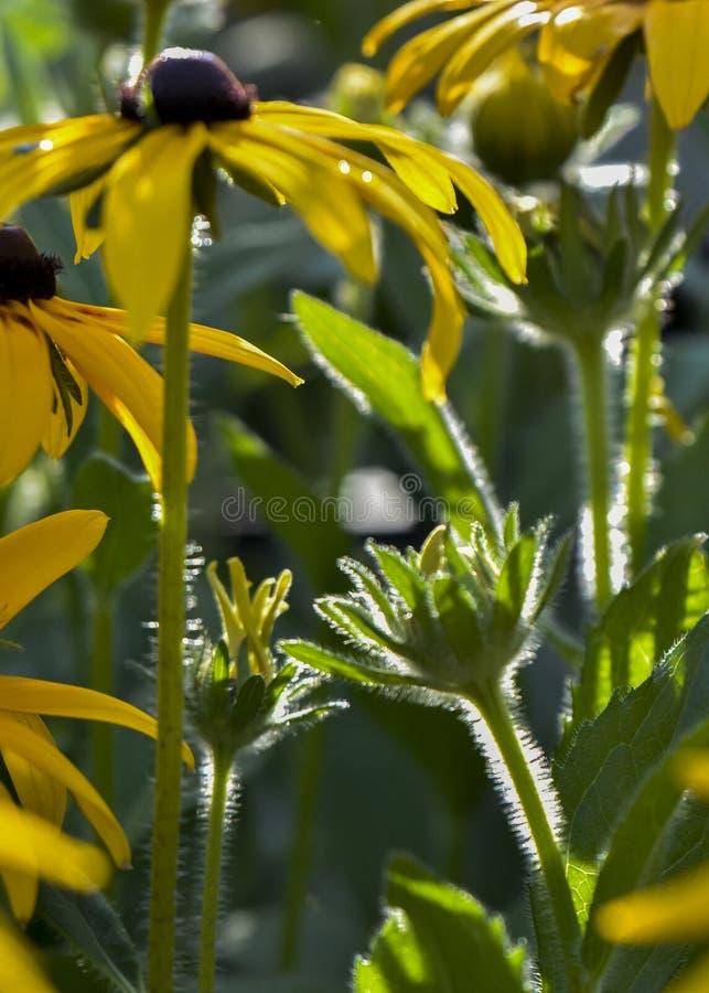 Asteraceae stockbilder