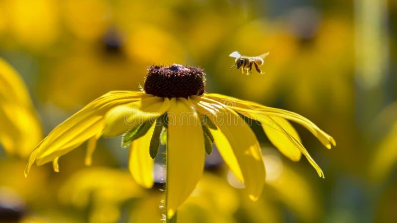 Asteraceae lizenzfreies stockfoto