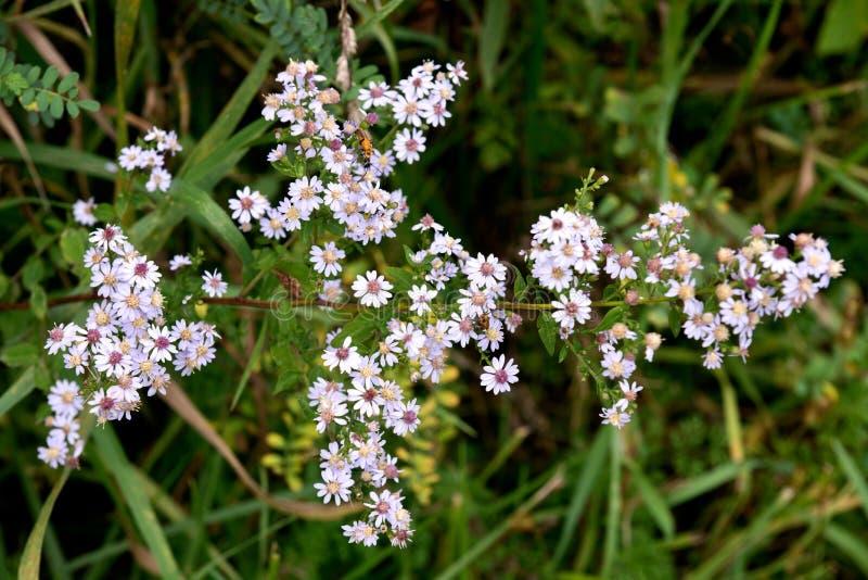Asteraceae de la familia de aster del millefolium de Yarrow Achillea imagen de archivo libre de regalías