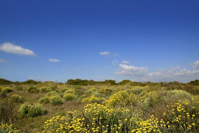 Asteraceae, Helichrysum V.N. van stoechas de gele bloemen stock afbeeldingen