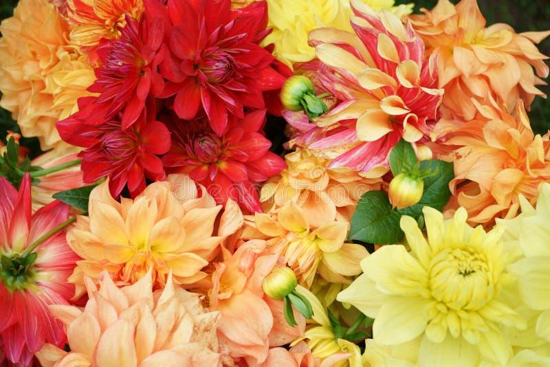 Asteraceae misturado das variedades e das cores das corolas da dália fotografia de stock royalty free