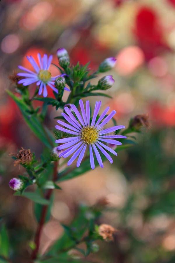 Asteraceae oder Compositae von der Familie von Blütenpflanzen Angiospermen, die im Garten blühen lizenzfreie stockbilder