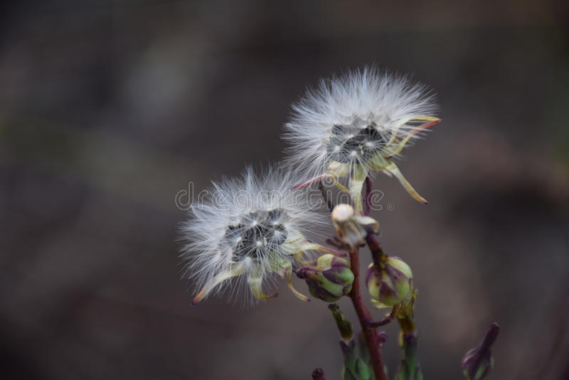 Asteraceae plant seeds royalty free stock photography
