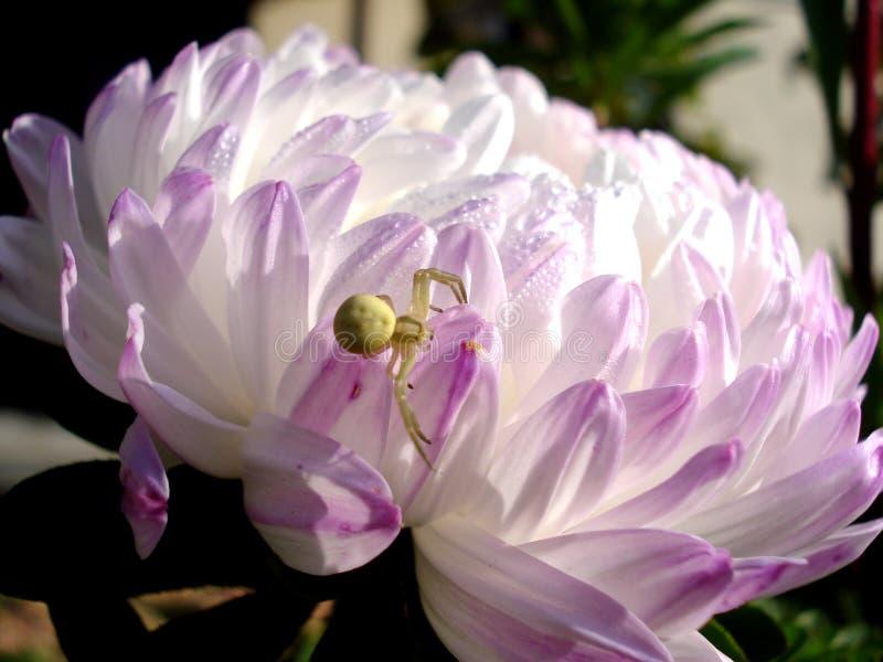 Asterblomma med spindel på en petal arkivbilder