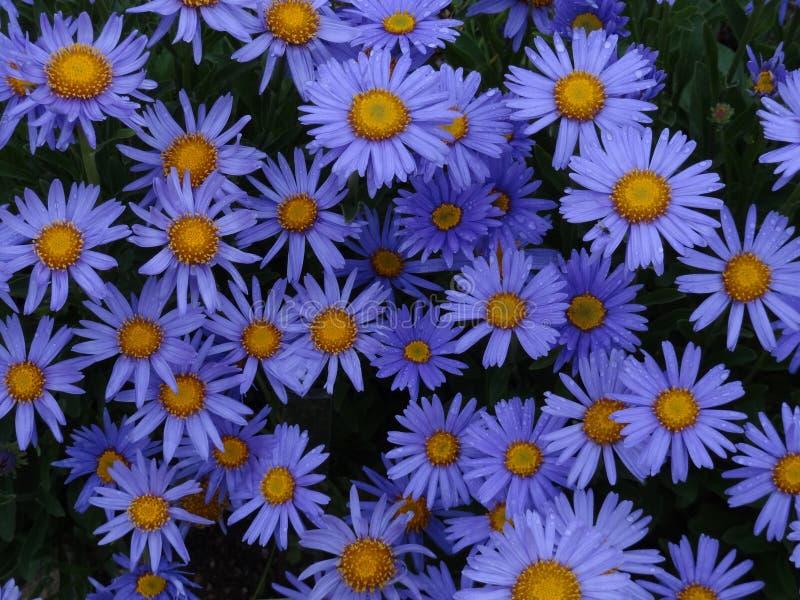 Asteres alpinos florecientes modestos y magníficos fotografía de archivo libre de regalías