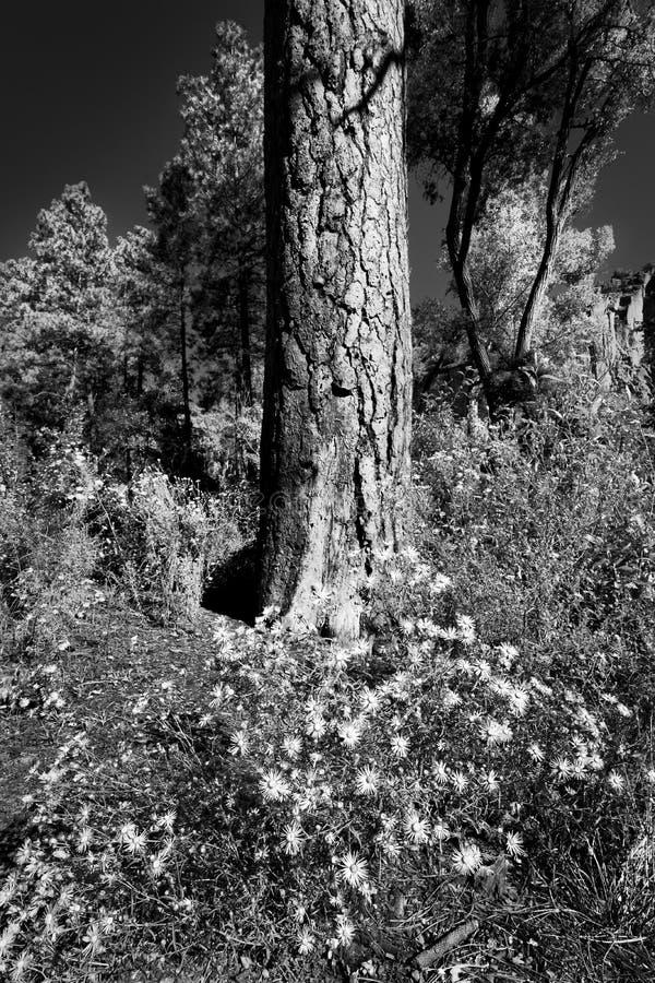 Asteres de New México foto de archivo