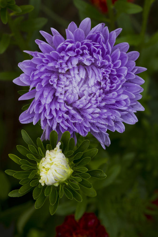 Asters λουλουδιών στοκ εικόνα με δικαίωμα ελεύθερης χρήσης