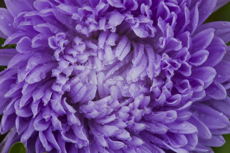 Asters λουλουδιών στοκ εικόνες με δικαίωμα ελεύθερης χρήσης