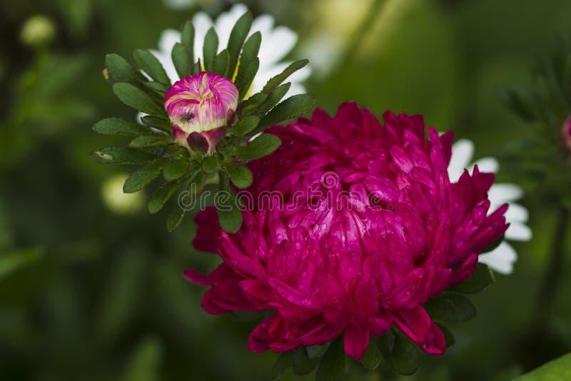Asters λουλουδιών στοκ εικόνες