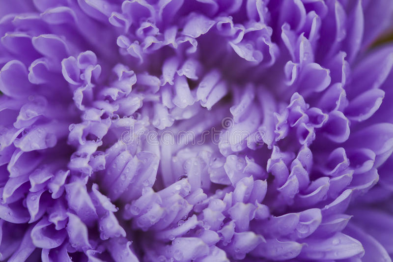 Asters λουλουδιών στοκ φωτογραφία