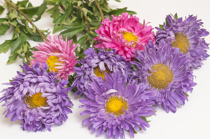 Asters. A bouquet of asters lies on a white background stock image