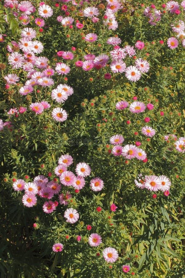 Asters de floraison photos stock