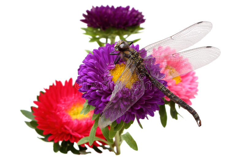 Download Asters and dragonfly stock image. Image of vibrant, china - 20907013
