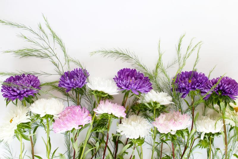 Asters of purple white and pink on white isolated background. Autumn delicate aster flowers on white isolated background for beautiful cards for your holidays royalty free stock photography