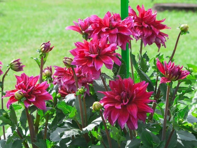Asters van cultorum babylon purpere grote bloemen van de Asteraceaedahlia stock fotografie