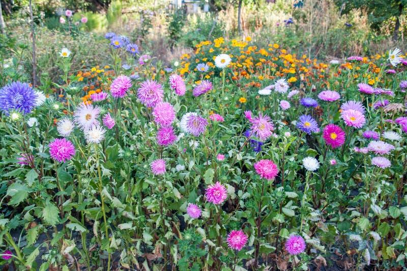 Asters vibrants fleurissant dans le jardin photo stock