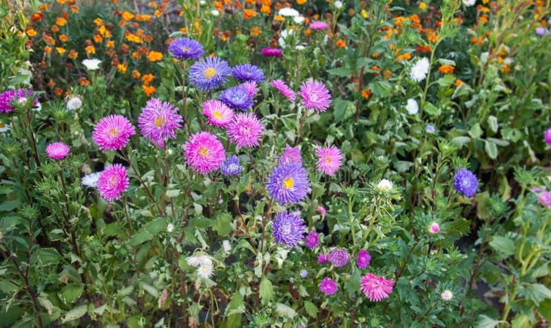 Asters vibrants fleurissant dans le jardin image libre de droits