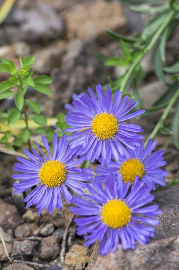 Asteru alpinus purpurowy fiołek kwitnie w kwiacie, Alpejskiego asteru kwiatonośna halna roślina obraz stock