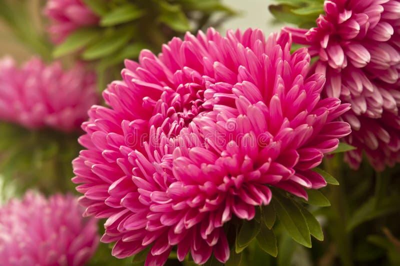 Asteru kwiat zdjęcia royalty free