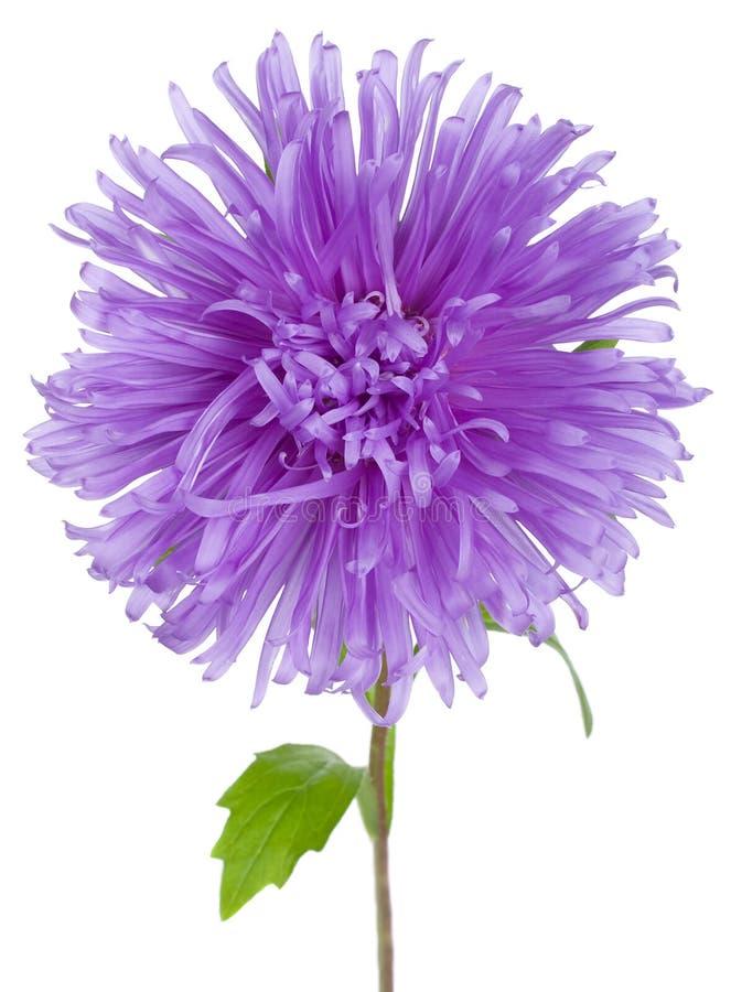 asteru kwiatu fiołek obrazy royalty free