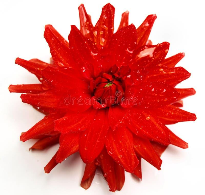 asteru kwiatu głowa fotografia stock