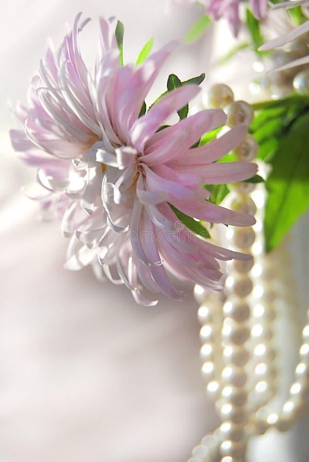 Asteru różowy z paciorkami zdjęcie stock