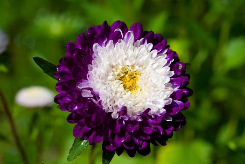 asteru zamknięte trawy zieleni purpury up biel zdjęcia stock