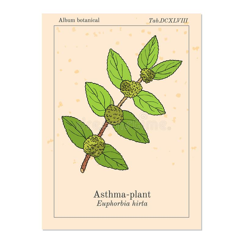 Asthma-Anlageneuphorbiengummi hirta oder Garten spurge, Heilpflanze lizenzfreie abbildung