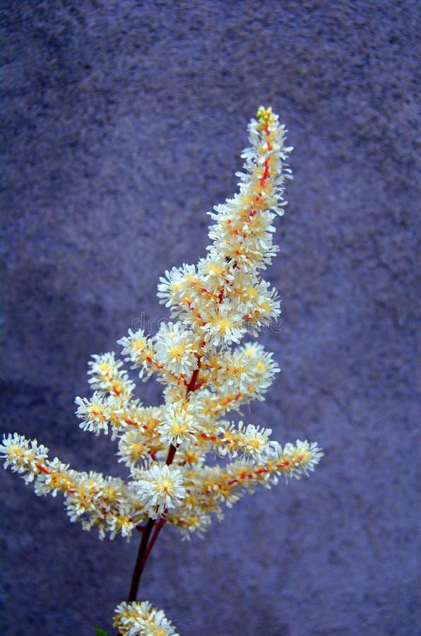 astilbe λουλούδι στοκ φωτογραφίες με δικαίωμα ελεύθερης χρήσης