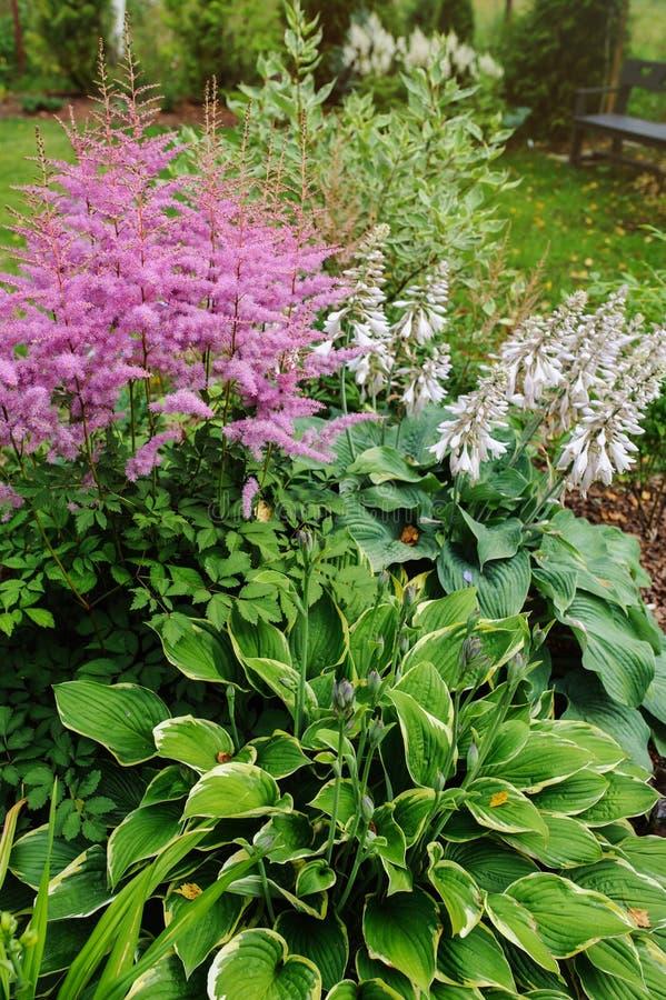 Astilbe di fioritura variopinto nel giardino di estate in confine misto con le hoste e la cornina immagine stock