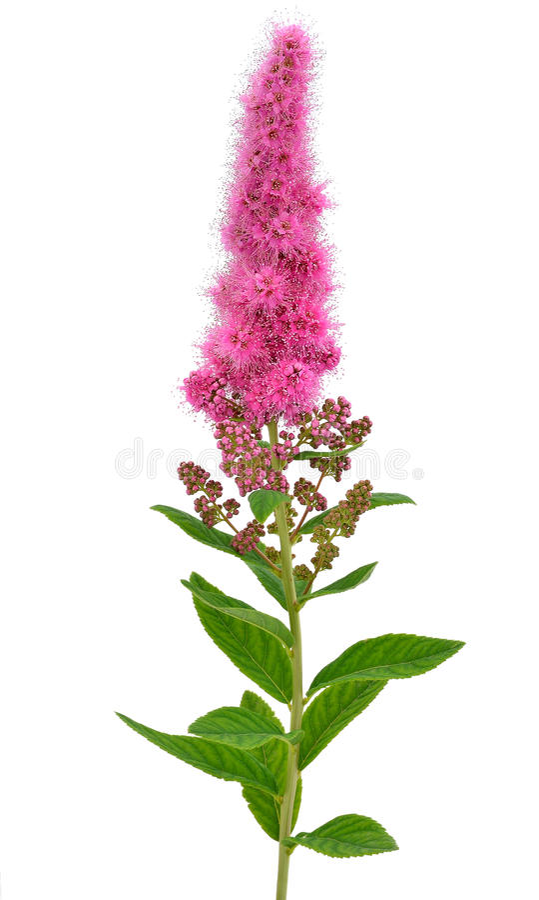 Astilbe flower stock photo