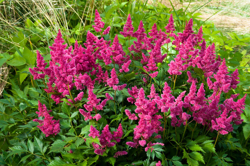 Astilbe royalty free stock photography